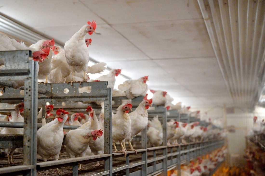 Utbudet av ägg till påsk hotas av ett omfattande utbrott av fågelinfluensa på en gård i Mönsterås. Arkivbild.
