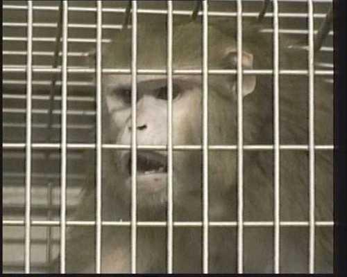 Makakerapor är ytterst sociala varelser.   Att sätta dem i separata burar är därför ren tortyr, säger Chatarina Krång på Djurens rätt.