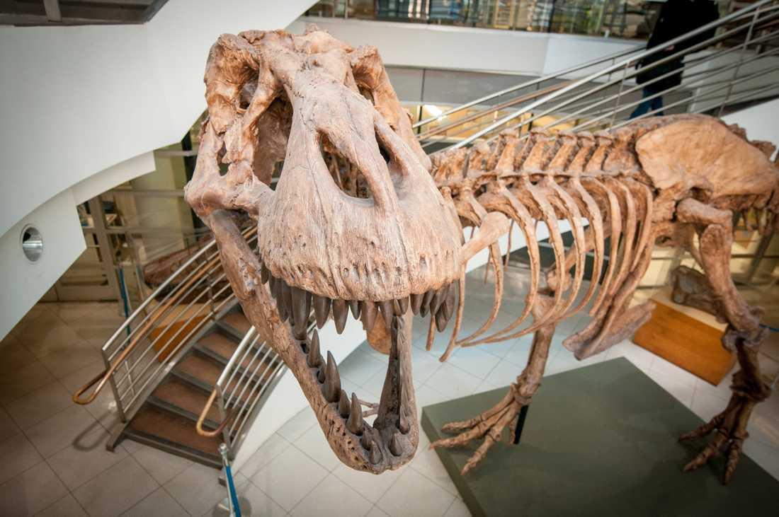 """Det fanns """"bara"""" cirka 20000 tyrannosaurier på en och samma gång, när det begav sig. Men totalt har det funnits miljarder av dem, visar forskning. På bilden syns en avgjutning av ett av de 32 mer eller mindre kompletta fossila skelett av detta djur som någonsin har hittats. Arkivbild."""