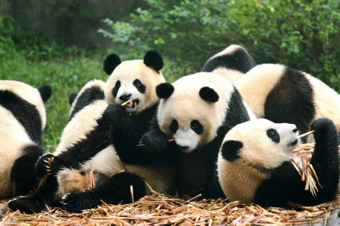 I Chengdu kan du se jättepandor som dessa.