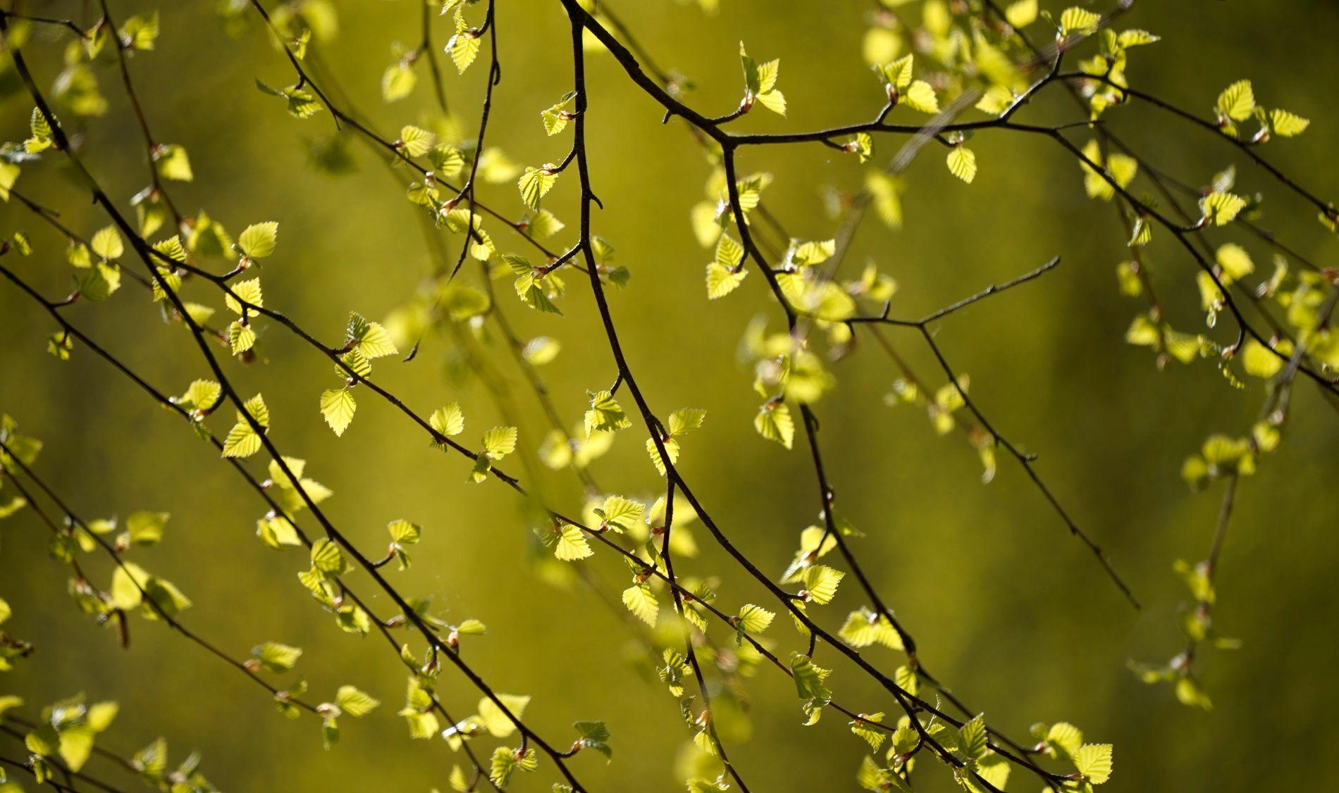 Kan bli värsta pollensäsongen på 45 år