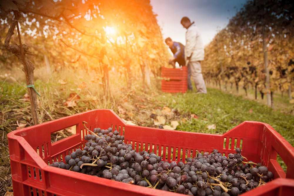 Vindruvor på vingård