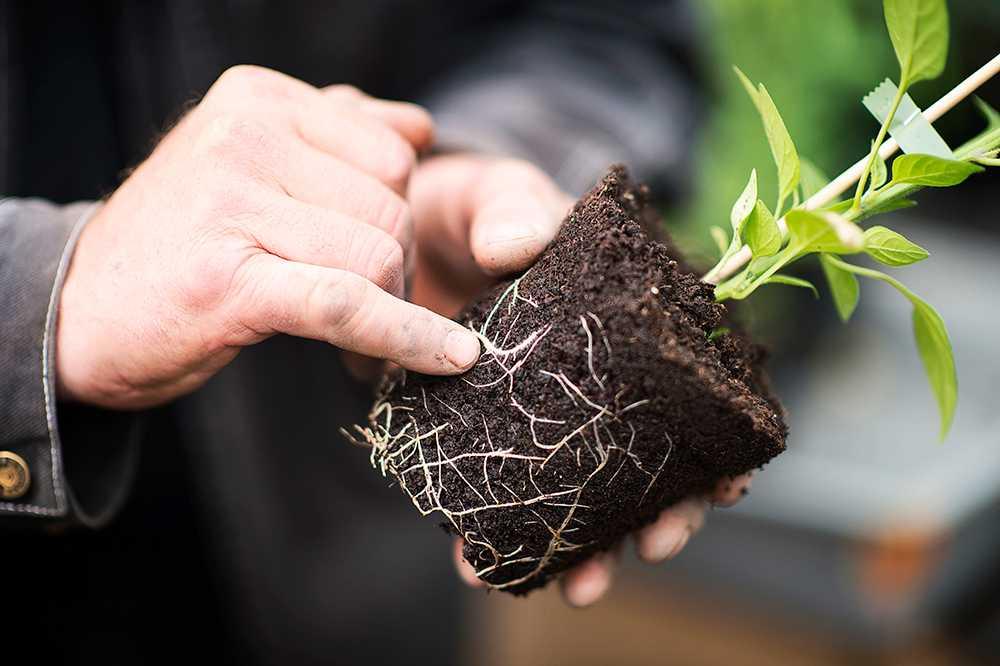 När rötterna sträcker på sig skapas ett djupare och större rotsystem