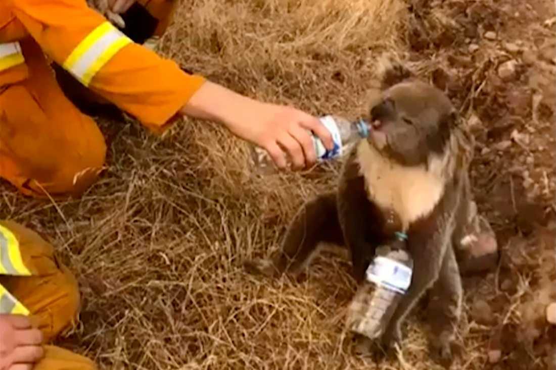 En koala får vatten ur en flaska från en brandman i Australien.