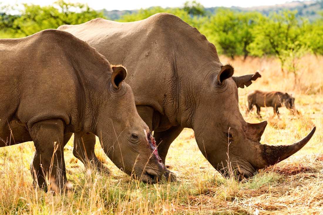 Tjuvjägare sågade av hornet på den noshörningen med motorsåg och lämnade henne att dö. Hon klarade sig mot alla odds, men hennes fyra veckor gamla kalv dog.