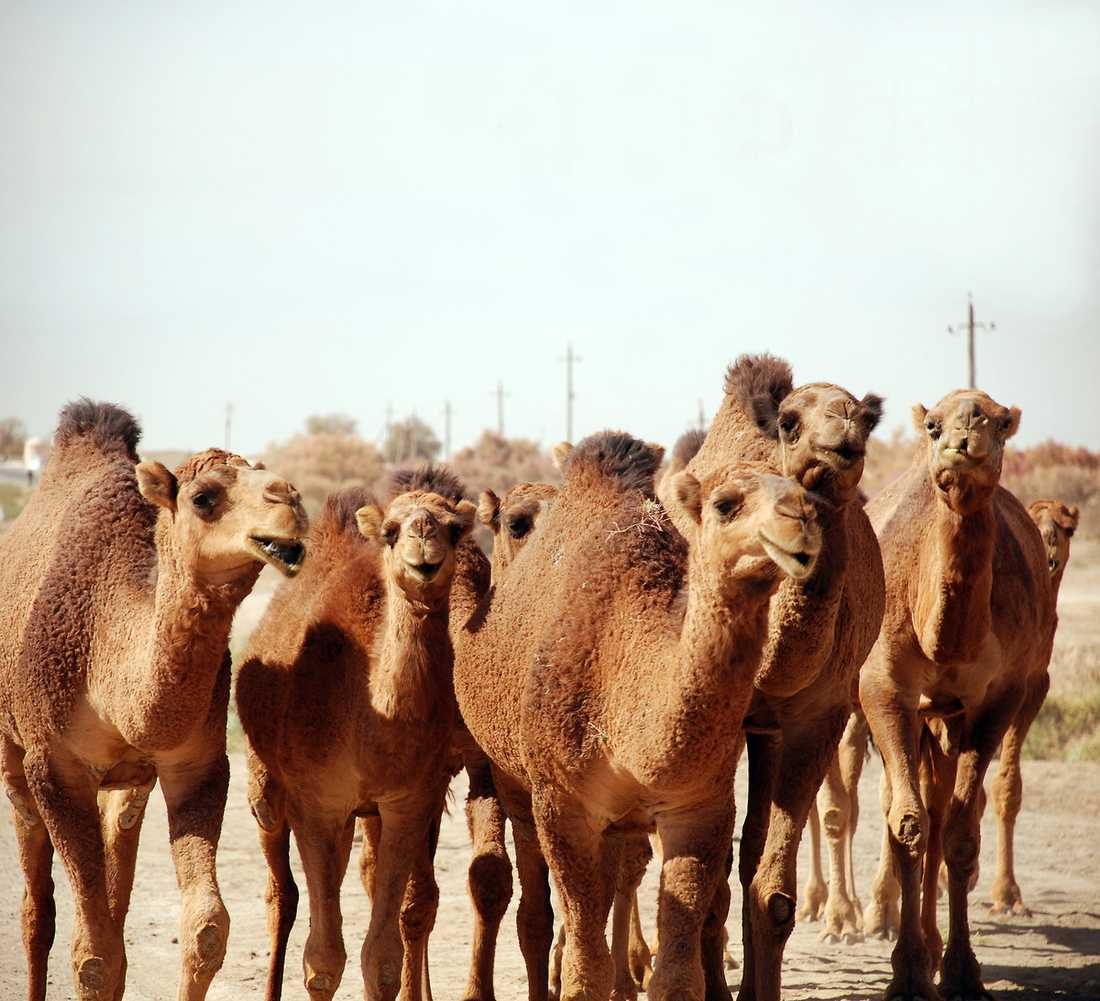 Kamelerna har tagit över den gamla högkulturen på Sidenvägen.