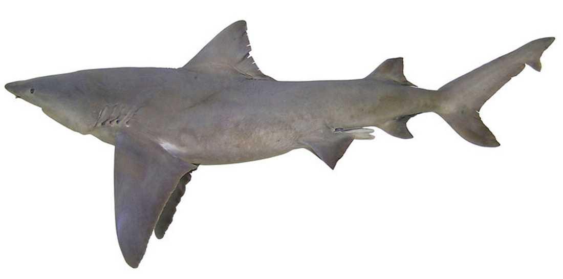 En 2,5 meter lång flodhaj, Glyphis Garricki, fascinerar forskarna.