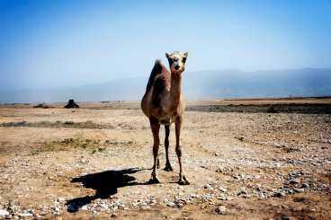 Kamelerna strövar ofta fritt längs vägarna.