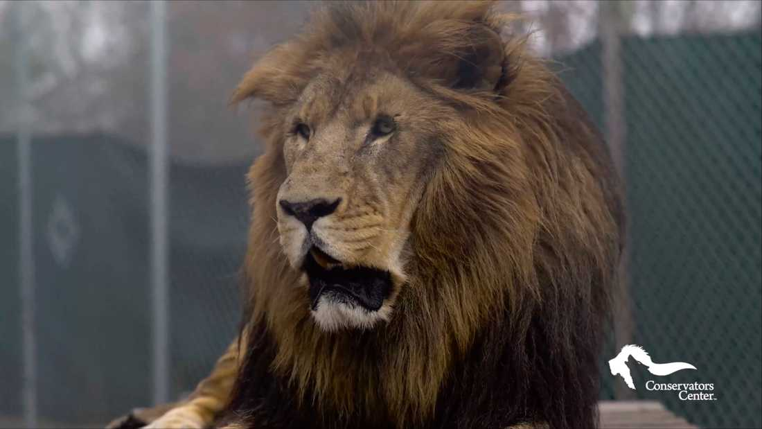 Lejonet Matthai.