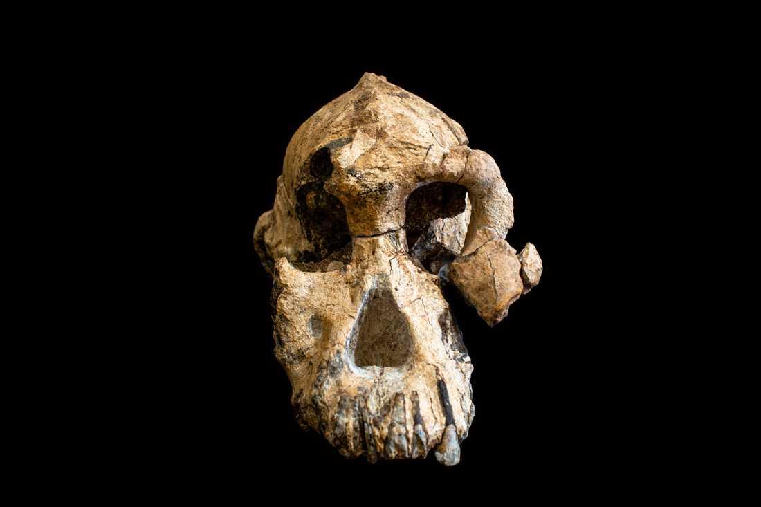 Ett fossil av en mycket välbevarad skalle från arten Australopithecus anamensis som levde för 3,8 miljoner år sedan har hittats i Etiopien.