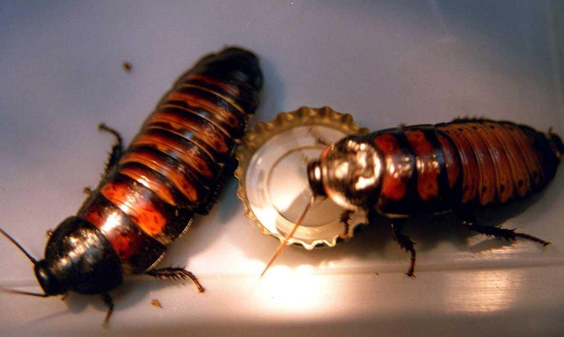 På en djurpark i USA går det att få en kackerlacka uppkallad efter ett ex. Sedan kommer insekten att bli mat åt en surikat. Allt kommer att livesändas på nätet på alla hjärtans dag. Arkivbild.