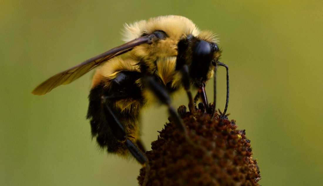 Humlan är en av de insekter som är känsliga för det giftiga växtskyddsmedlet Gaucho WS70. Ett domstolsbeslut stoppar nu användningen av ämnet i Sverige. Arkivbild.