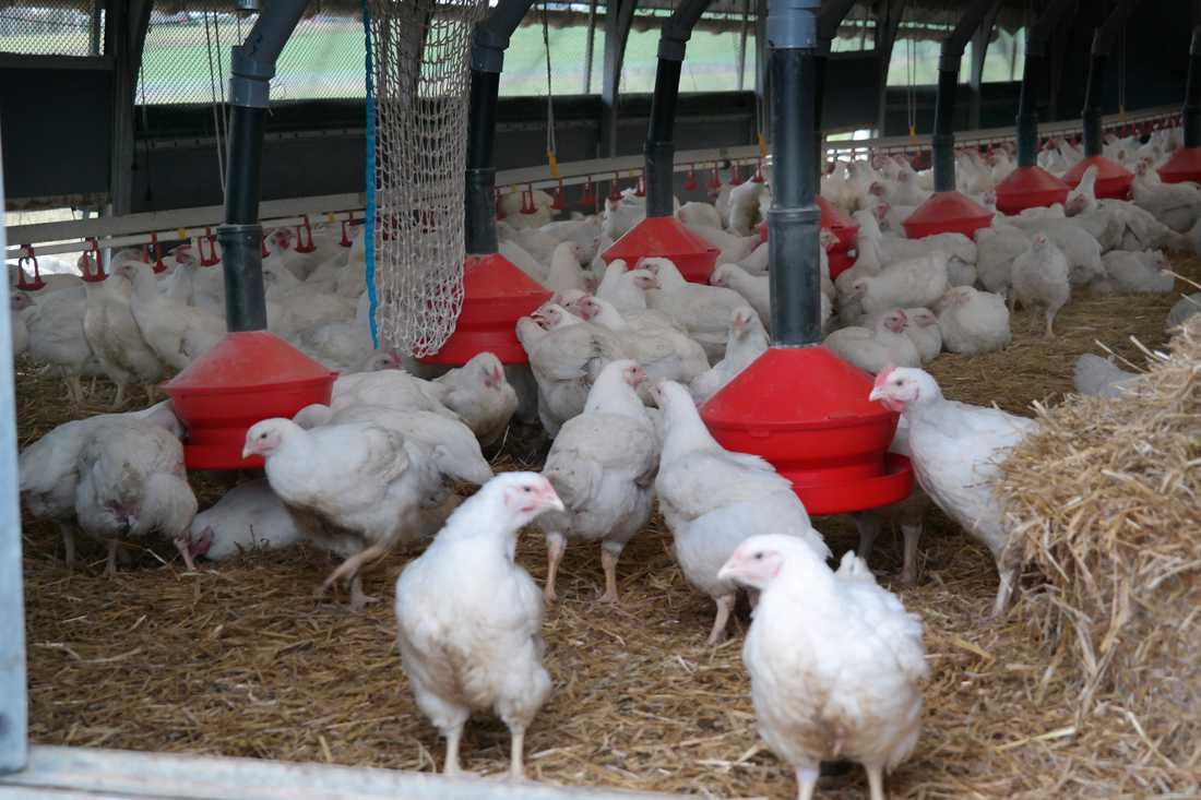 Flera kycklingar ska ha skållats levande på ett av Guldfågelns slakteri på Öland.