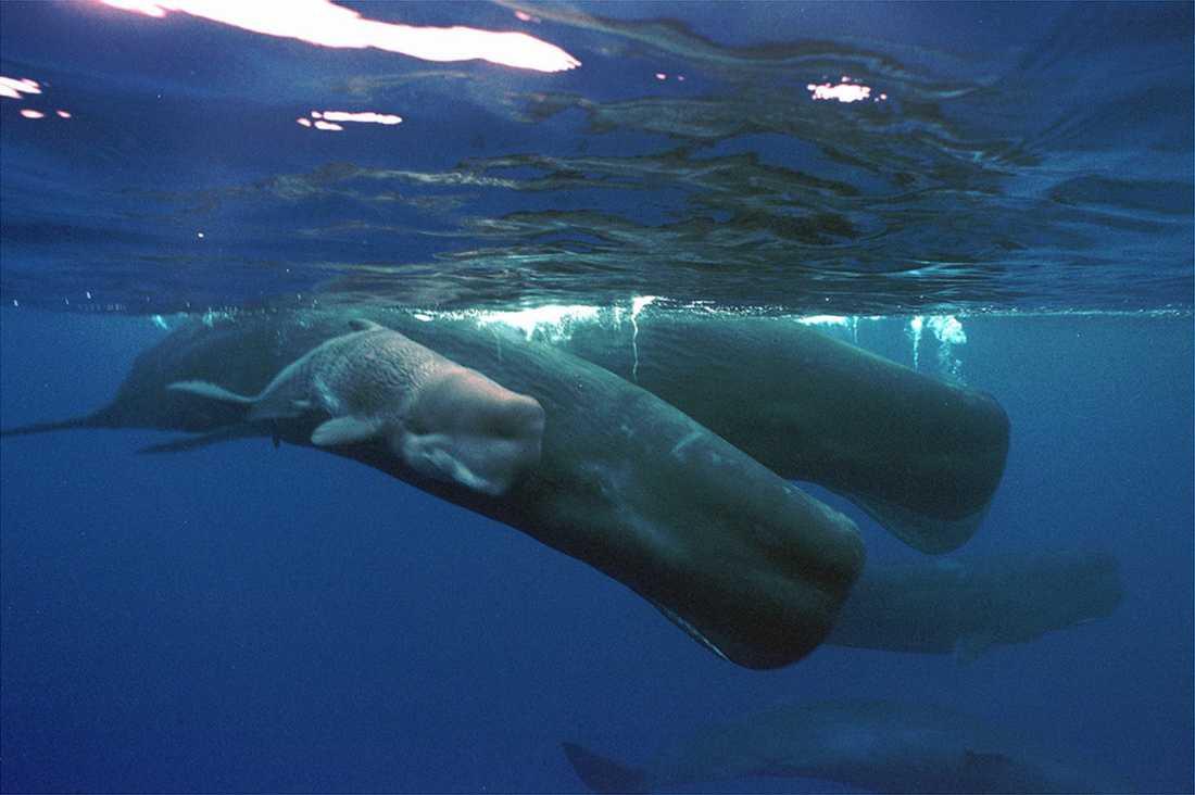 Under ytan har livet – inklusive kaskelottvalarna – frodats under Italiens nedstängning. Arkivbild.