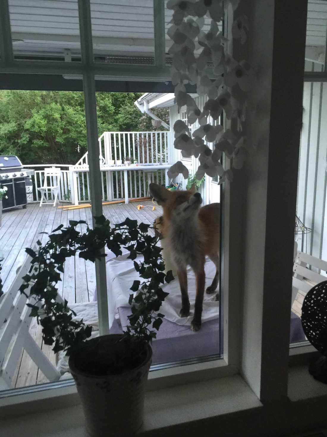 Familjen kallar numera räven för Reinard räv.