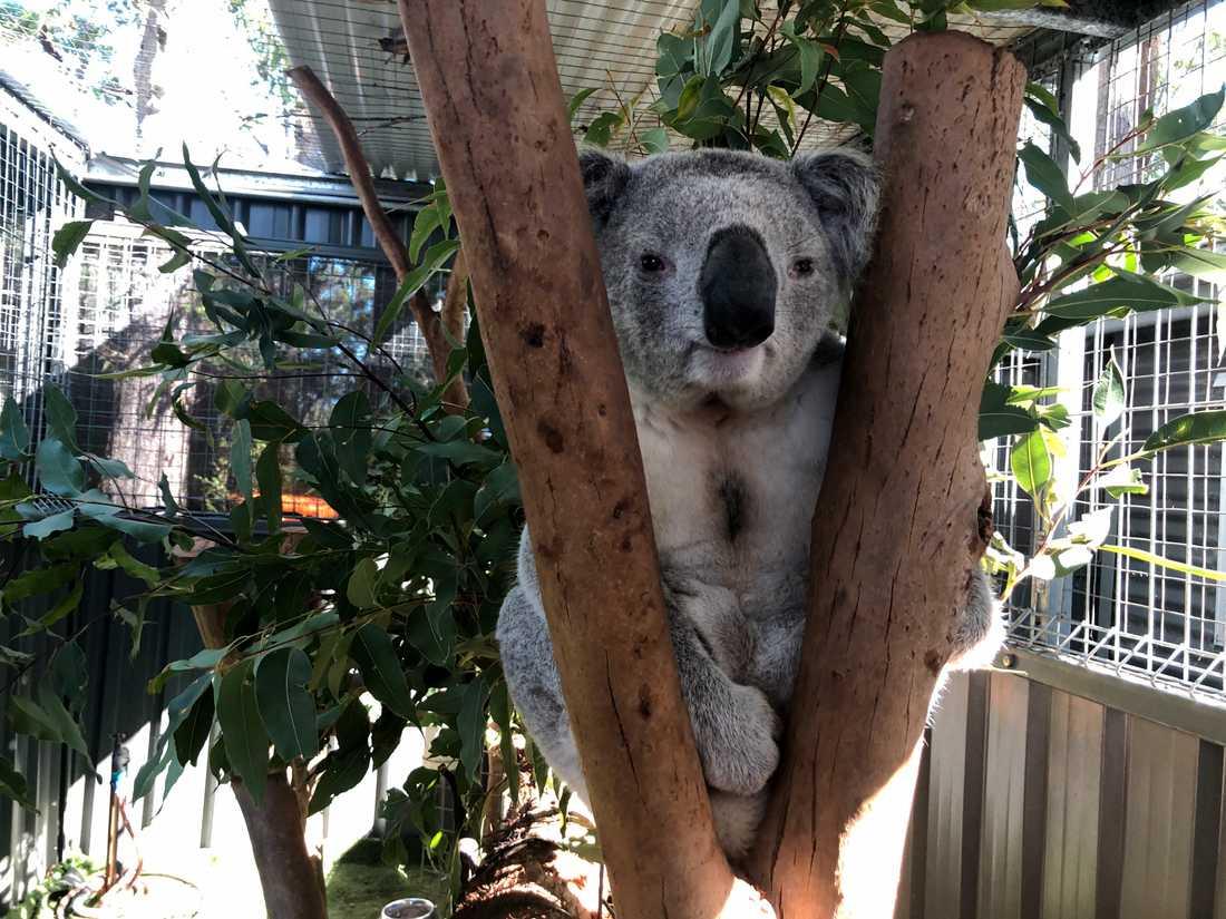 Koalan George vårdas på koalasjukhuset i Port Macquarie på Australiens östkust. Han kom dit i slutet av juni och har konjunktivit på båda ögonen som har orsakats av klamydia.
