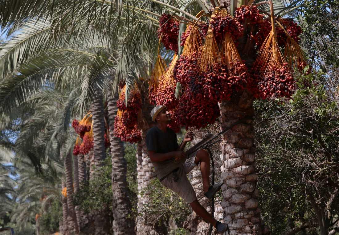 Skörd av dadlar vid en odling på Gazaremsan i oktober i år.