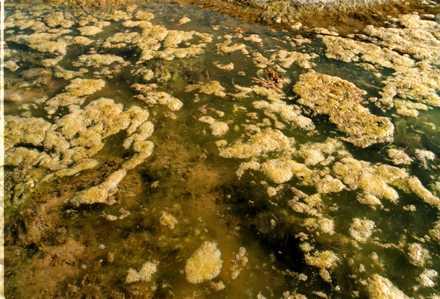 Algblomning Det varma vädret gynnar cyanobakteriernas tillväxt och värmen kommer att hålla i sig några dagar. Detta i kombination med svaga vindar kan göra att det bildas ytansamlingar av alger.