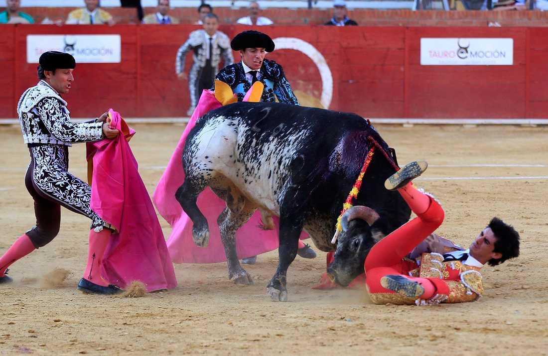 Tjurfäktaren har precis hamnat på marken. Den framrusande tjuren stångar honom sedan så illa att han dör av skadorna.