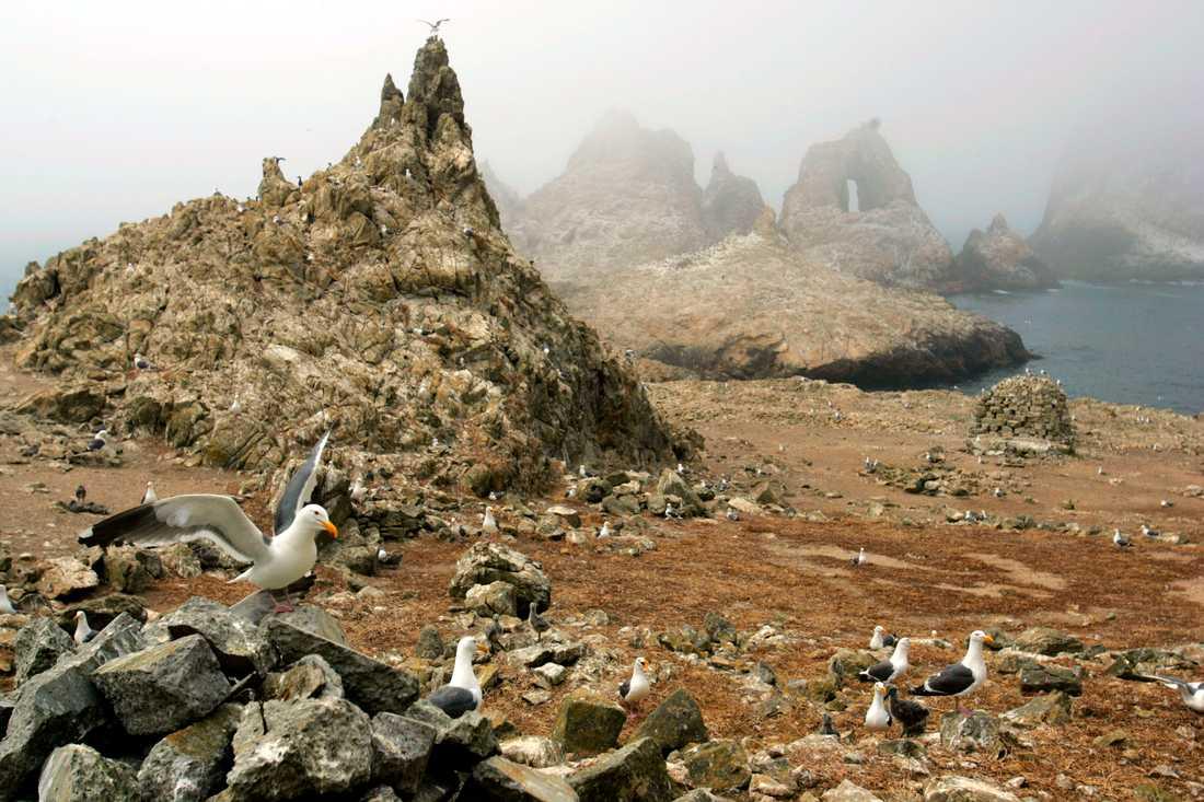 Farallonöarna är skyddade på grund av dess rika djurliv. Men nu orsakar en musinvasion kaos i det lokala ekosystemet. Arkivbild.