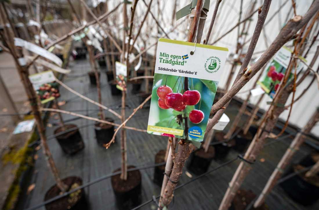 Fruktträd till försäljning på Plantskolan i Ängelholm.