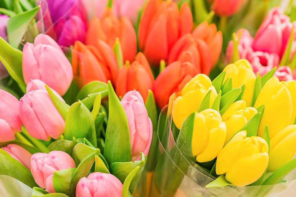 Med rätt omsorg får du dina tulpaner att räcka längre.