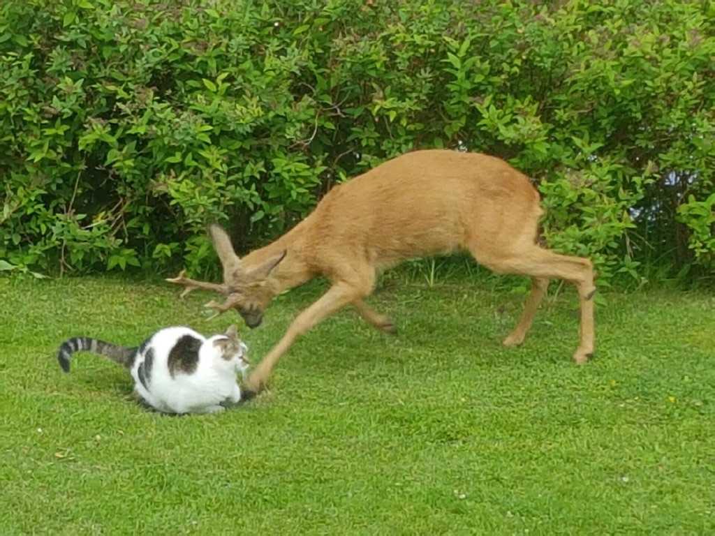 Här går rådjuret till attack mot katten Estrella