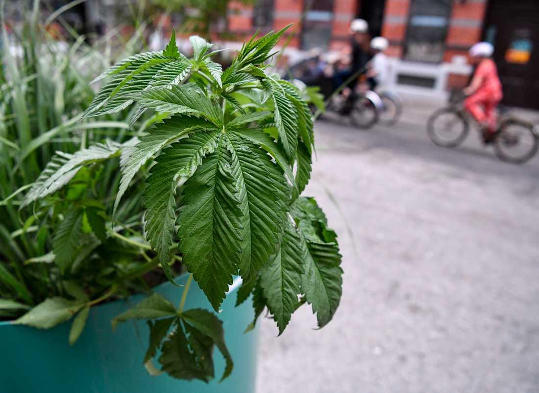 Misstänkt planta i kommunens kruka på sommargågatsdelen av Friisgatan i Malmö på söndagen.