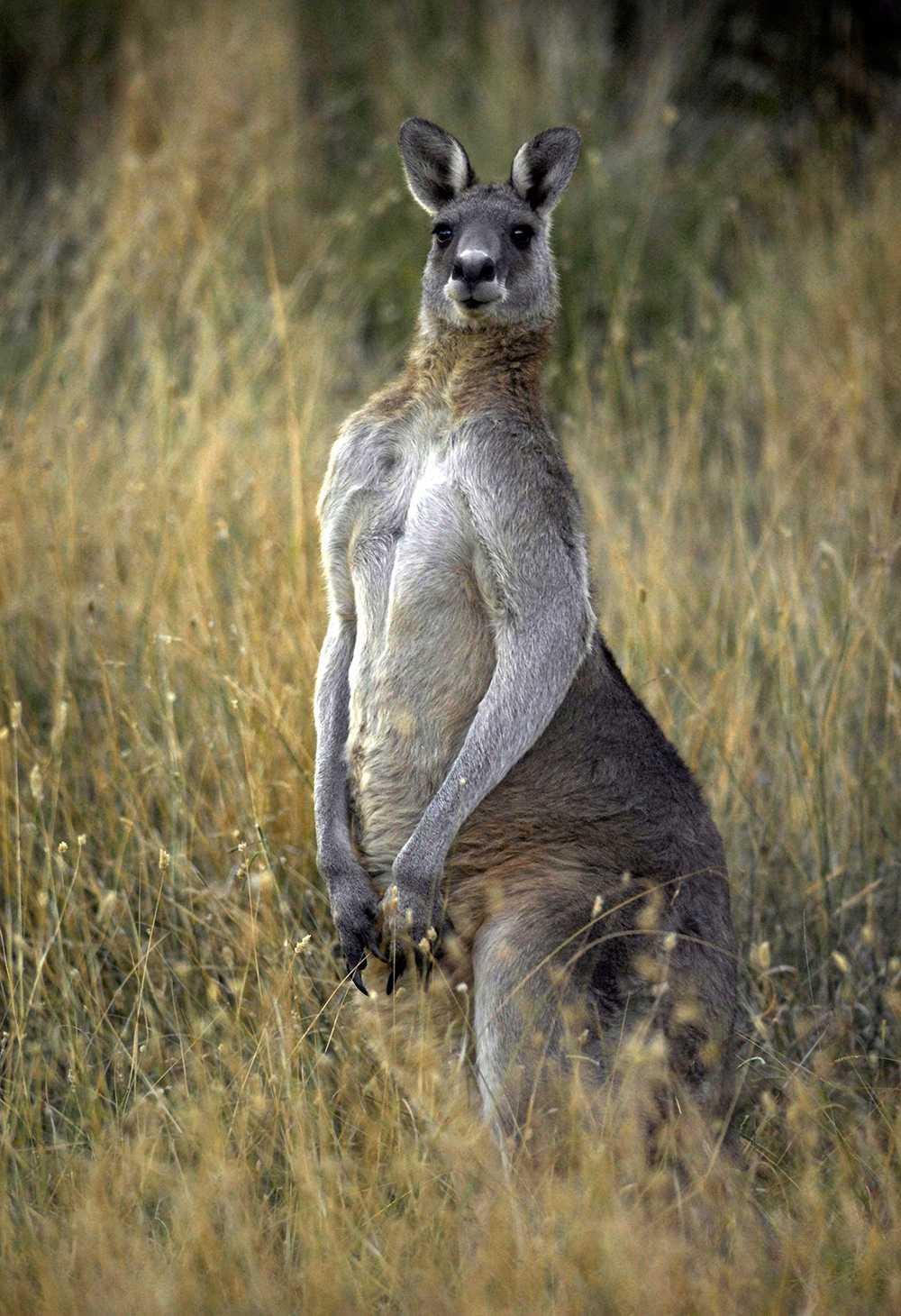 Bilden föreställer en annan känguru än den i artikeln.