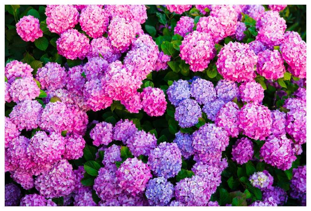 Hortensian är lika vacker i trädgården som i en praktfull bukett!