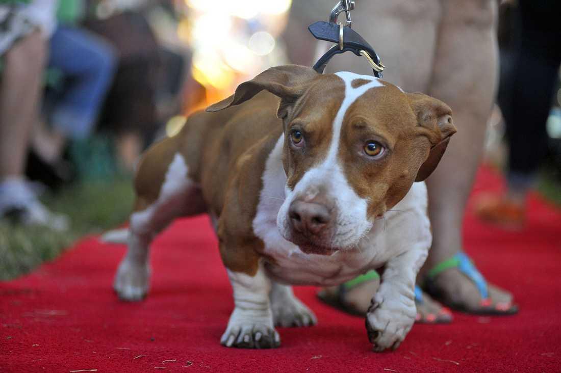 Vinnaren Walle är en korsning mellan en beagle, en boxer och en basset.