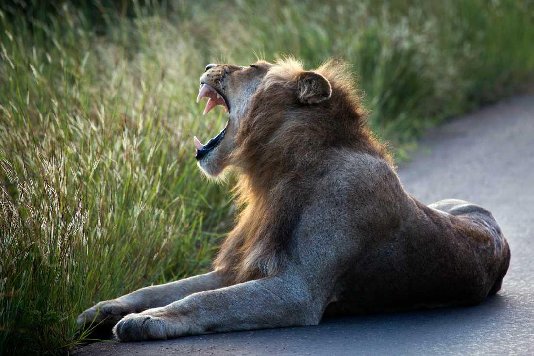 De flesta av Sydafrikas lejon är födda i fångenskap. Arkivbild.