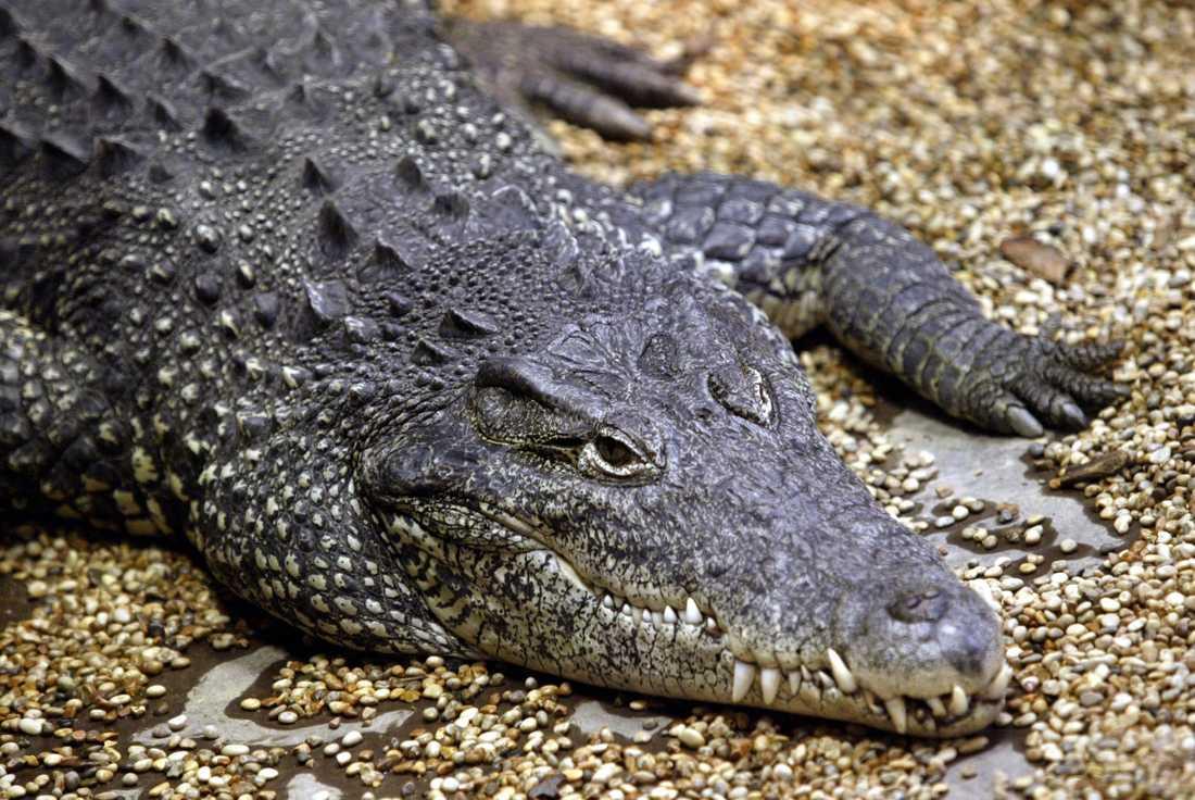 En man blev biten av en krokodil i Skansenakvariet. Arkivbild.