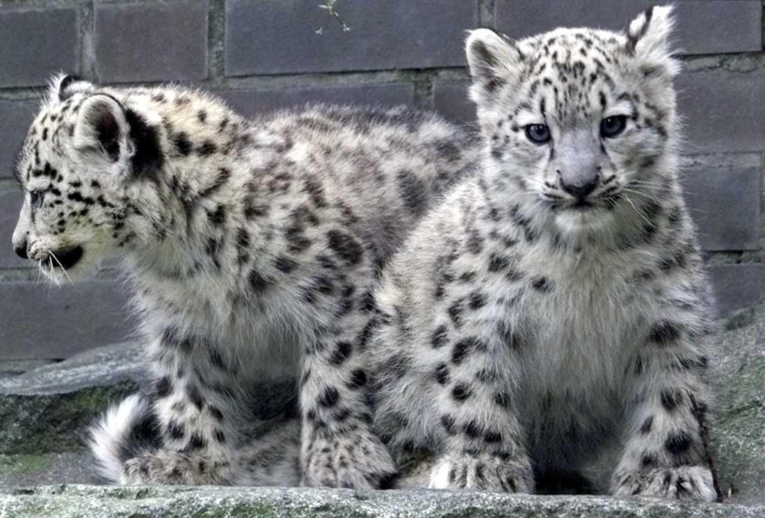 De elva veckor gamla snöleoparderna Sheela och Leila på ett zoo i Berlin.