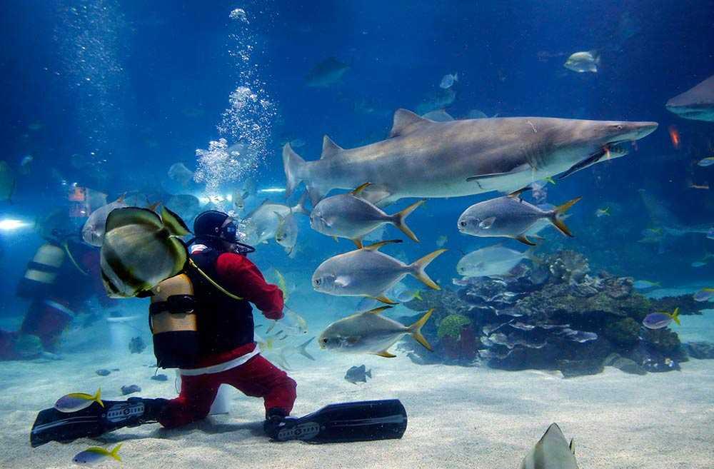 """En dykare, utklädd till jultomten, matar hajarna i Budapests undervattens-zoo """"Tropicarium""""."""