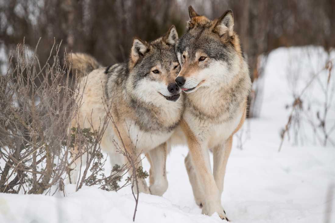 Var femte varg i Sverige försvinner från sina revir. Arkivbild.