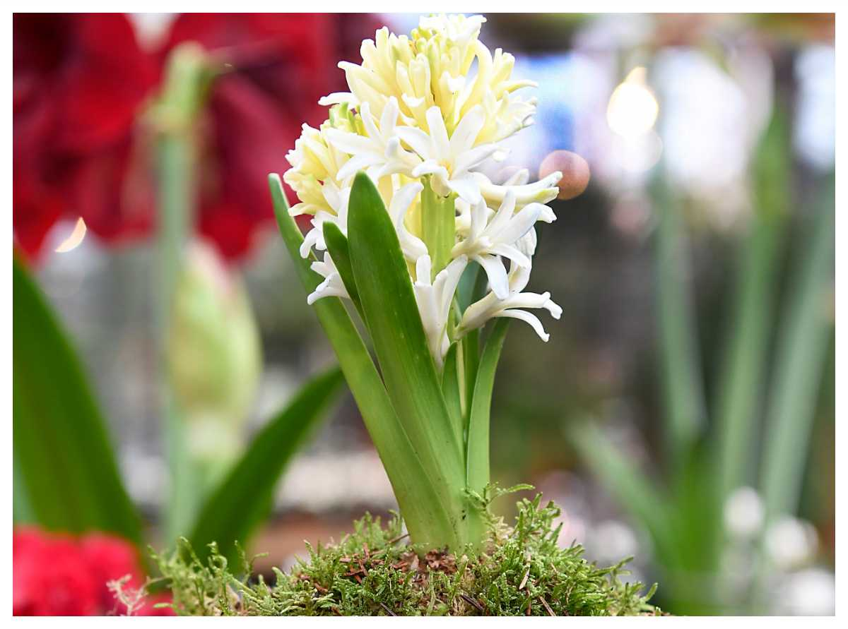 De vita hyacinterna har svagast doft.