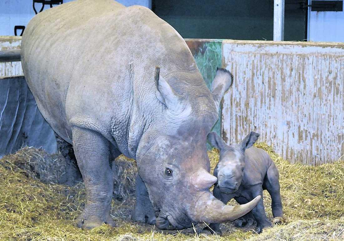"""""""Det sa bara plopp"""" Den """"lilla"""" noshörningskalven väger 70 kilo och verkar kärnfrisk."""