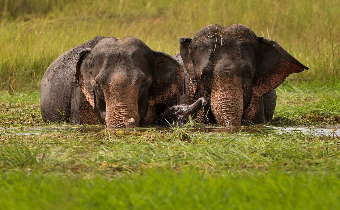 Asiatiska elefanter. Arkivbild.