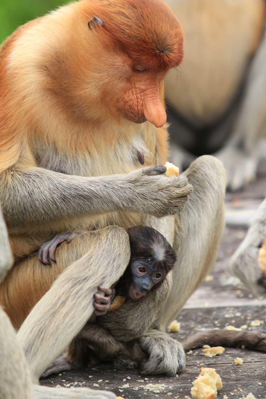 En näsapa på Borneo.