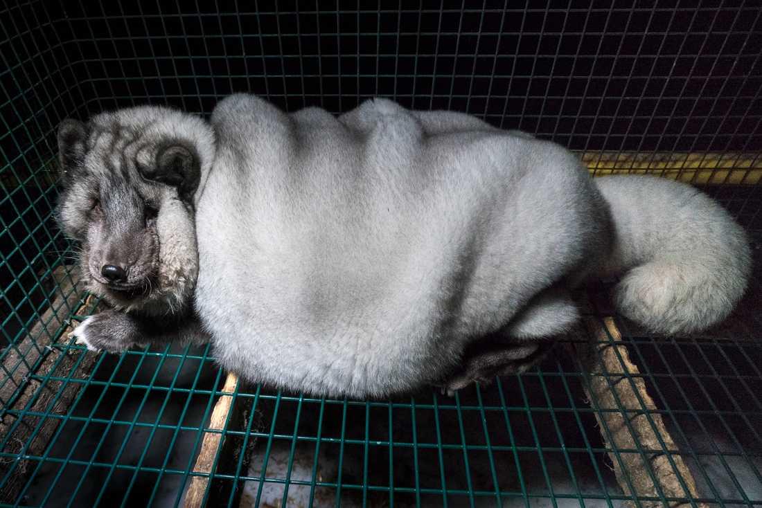 De hårt avlade rävarna har svårt att röra på sig, pälsen hänger i tunga veck och många har ögoninflammationer.