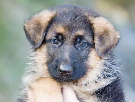 13. Castro, schäfer, hane, 6,5 veckor. En uppfödare hyrde in 21 schäfrar på Akitagården. När han inte kunde betala för sig lämnade han några av hundarna som betalning. Castro är en av dem. carina_claesson@telia.com
