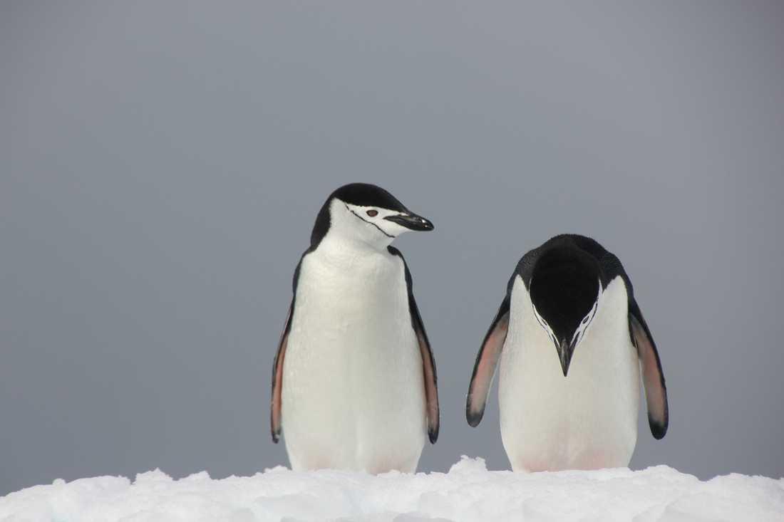 "INGEN PINGVINST I DAG HELLER? Besvikelsen var stor på Antarktis när Peter Odeh var framme med kameran. Bildtiteln ""Trubbel i paradiset"" säger det mesta."