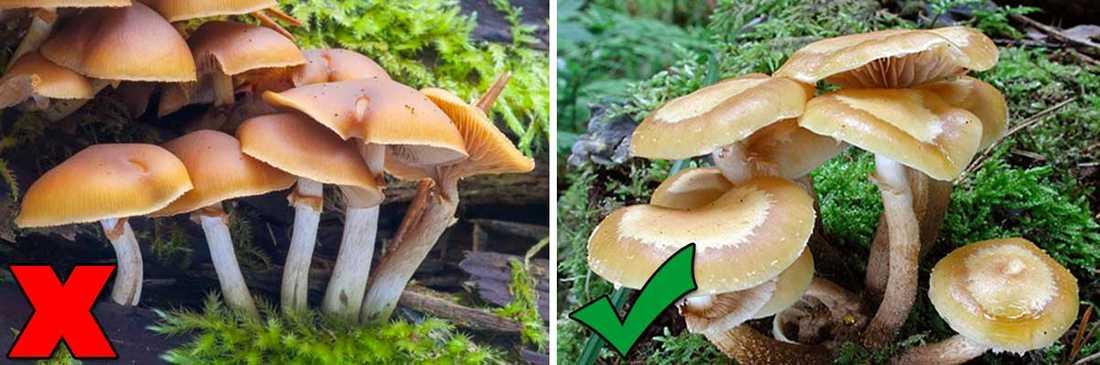Giftig: Gifthätting (till vänster) Matsvamp: Föränderlig tofsskivling (till höger) – De är extremt lika, så dessa två avråder man till och med de som kan svamp att äta – om man inte är hundra procent säker. De står till och med på samma artsida.