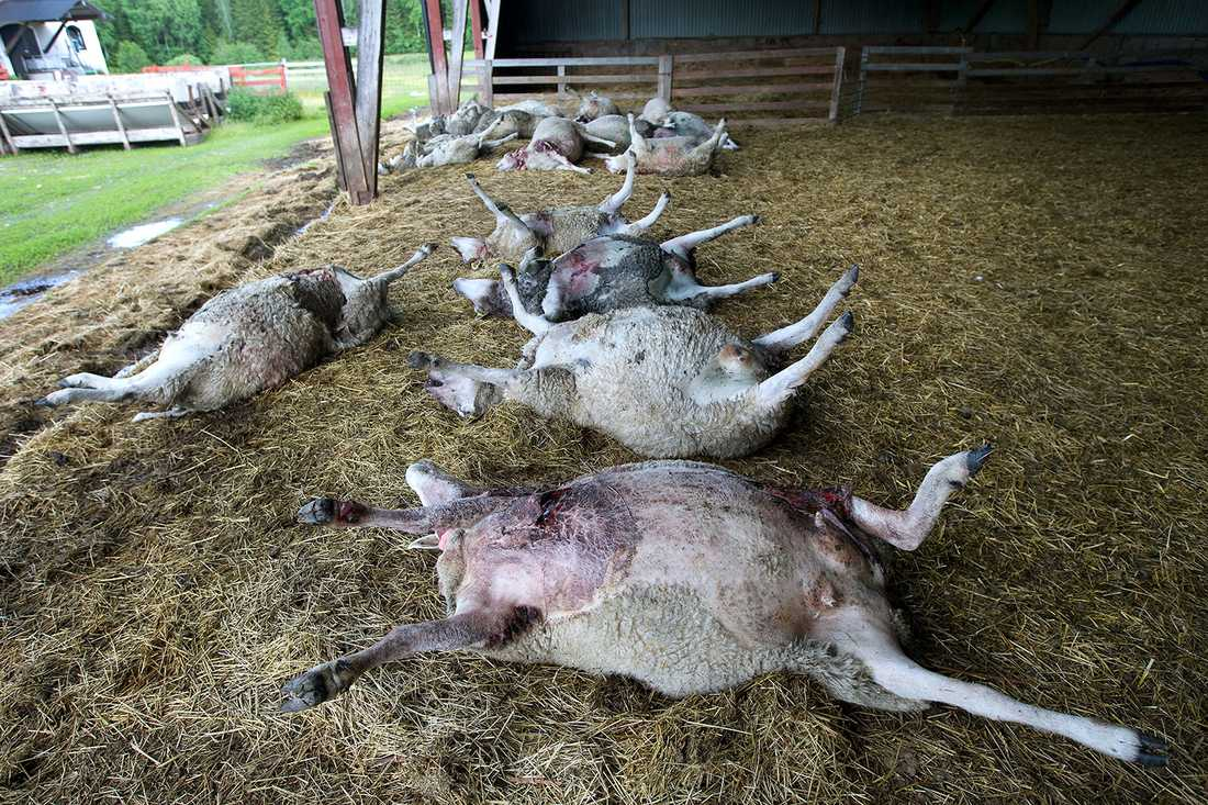 Några av de rivna fåren.