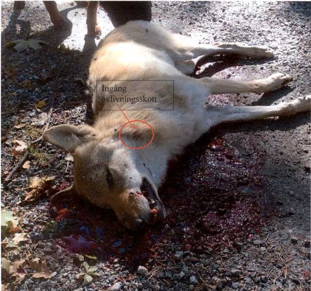 Ett öde som drabbat många vargar. Vargen på bilden sköts 2015 i Sörmland. Skytten hävdade att han sköt för att skydda sina hundar. Arkivbild.