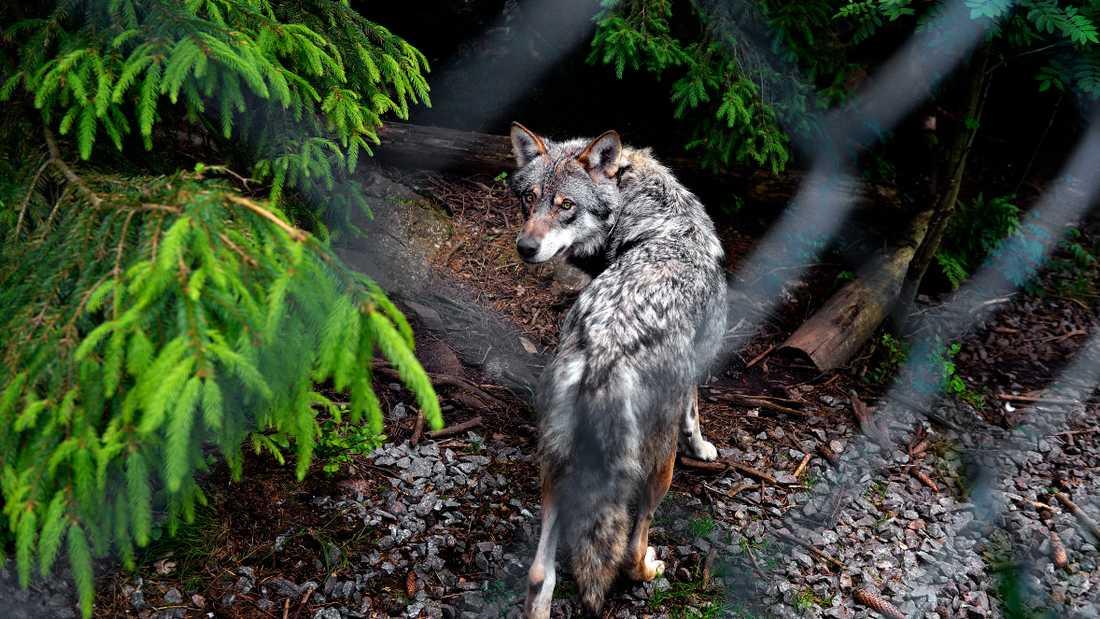 En av vargarna i hägnet på Kolmården där den dödliga attacken skedde 2012. Oklart om just denna varg var skyldig.