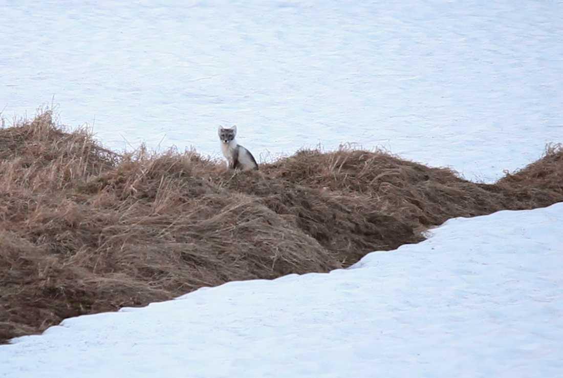 Den ena av två fjällrävar som kan följas via WWF:s livesändning. Bilden är tagen nyligen och som synes är det fortfarande en hel del snö kvar på fjället. Den vintervita pälsen har skiftat till gråbrun.