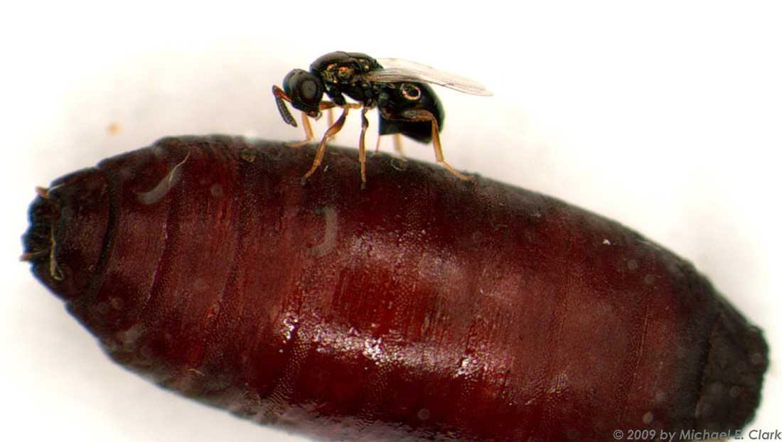 En parasitstekel lägger ägg i en fluga inuti sin puppa.
