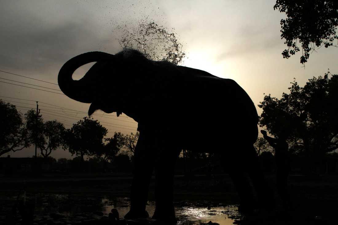 En elefant som dödat fem människor i Indien ska försöka tämjas sedan den fångats in. Arkivbild.